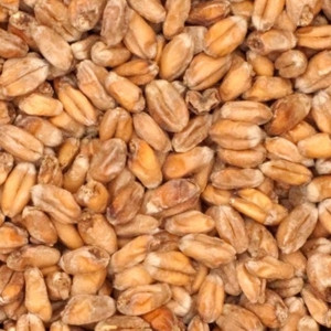 Pšenični tamni slad